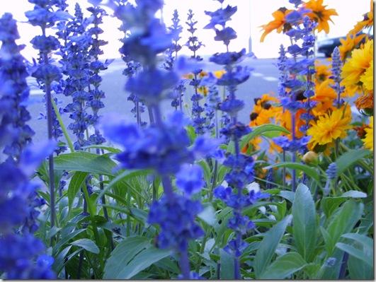 Albastrul mării Mediterane si albastrul florilor