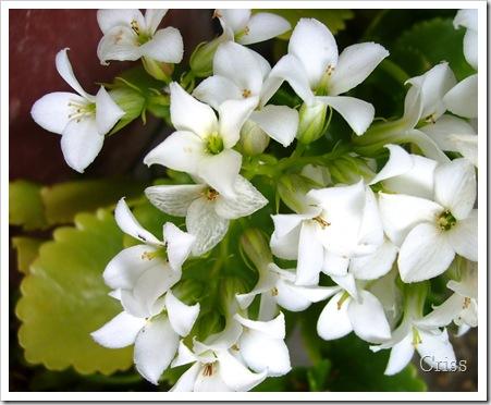 Scântei de ....flori