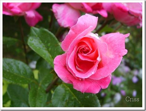 Trandafirul după ploaie