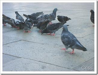 Porumbeii veghează Basilica din piața San Marco