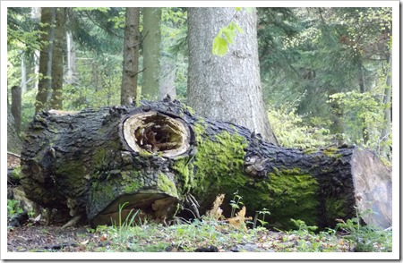 Uriașul pădurii s-a prăbușit